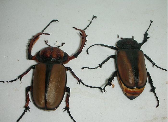 粪金龟简笔画画法