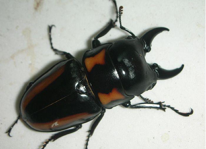 节肢动物 昆虫 锹形虫_节肢动物 昆虫 锹形虫