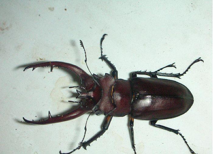 节肢动物 昆虫 锹形虫 深山锹形虫_节肢动物 昆虫 锹形虫 深山锹形虫