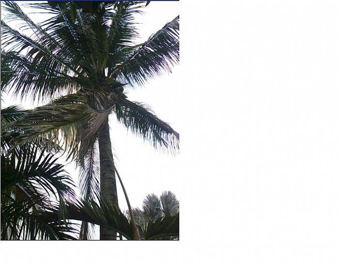 另外,前几天我拔椰子树叶时,发现有金龟子在吃椰子树的叶子!